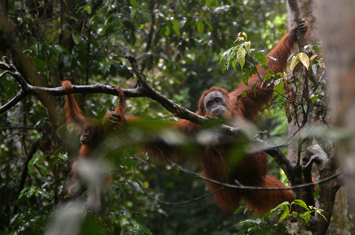 week in wildlife: Orangutan and baby swining in the trees