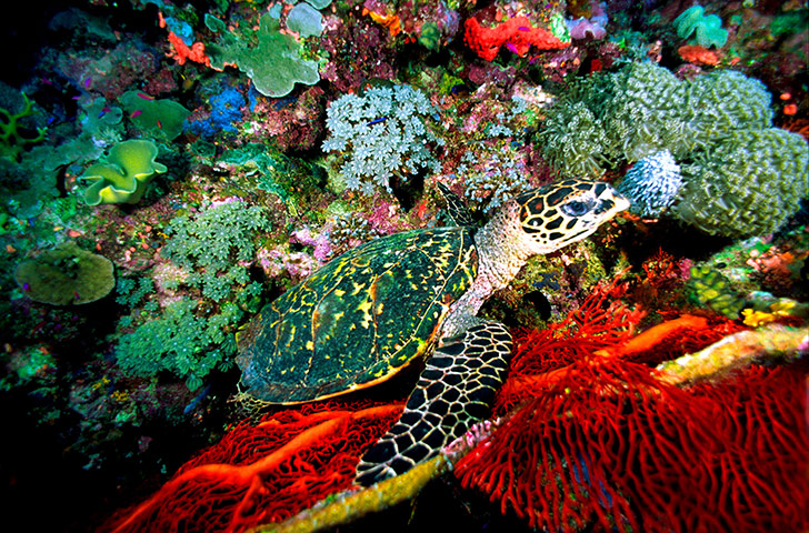week in wildlife: Hawksbill turtles