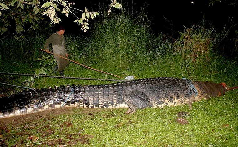 giant crocodile captured: A wildlife hunter subdueing the giant 6.4-metre  saltwater crocodile