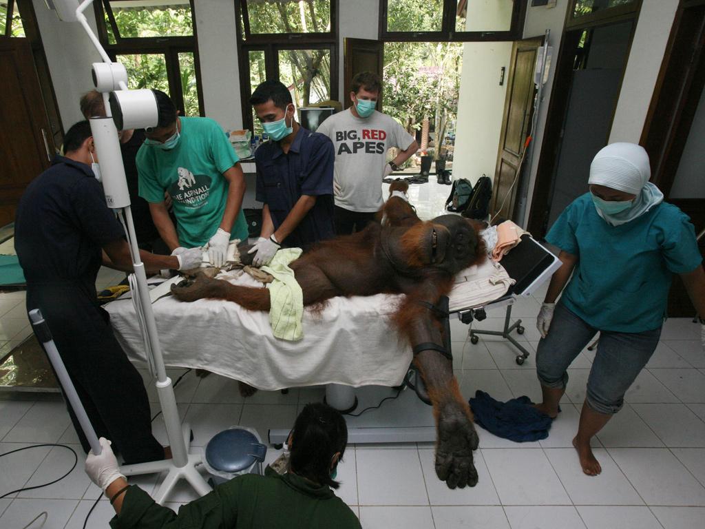 Orang-utan surgery in North Sumatra, Indonesia