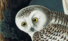 Owls from Birds of America by John James Audubon