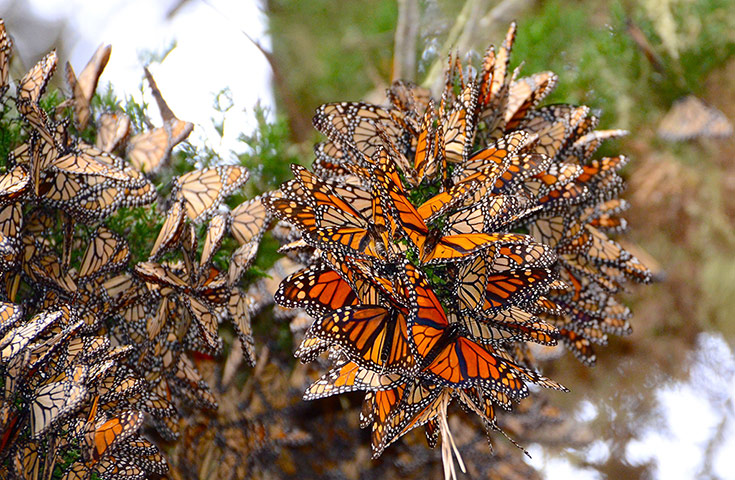 week in wildlife: Large Groups of Monarch Butterflies Pacific Grove, California