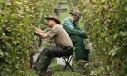 Workers pick grapes from the vine at Nyetimber in West Chiltington