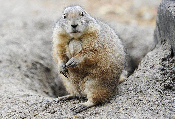 Week in wildlife: Prairie dogs at Hagenbeck Zoo in Hamburg, Germany - 02 Oct 2012