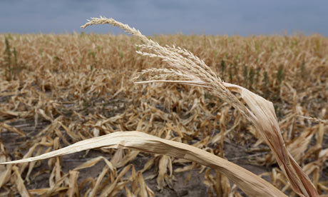 Dry stalks of corn ravaged by drought in Kansas, August 2012