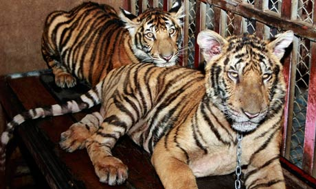 tiger cubs in chains
