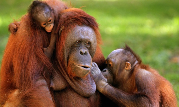 An orangutan, A-Me, and her children – a newborn and a five-year-old – are the subject of this delightful family portrait taken at the zoo in Guadalajara, Mexico