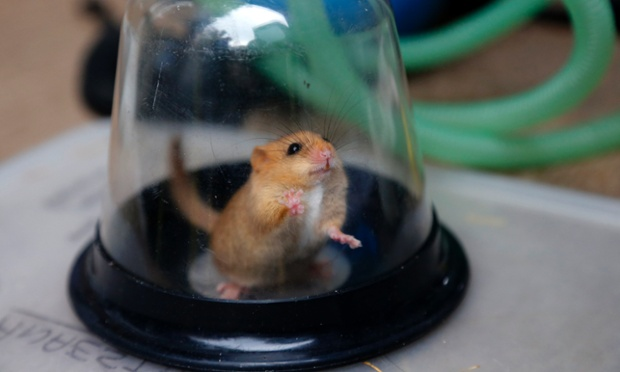 Glass ceiling: A Dormouse is sedated in an anaesthetic chamber before being micro-chipped as part of a multi-agency conservation project in North Wales. The Dormice, which are native to the UK, are being marked and monitored in a programme aimed at improving conservation methods in  the area.
