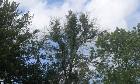 Ash trees, diseased, in Denmark