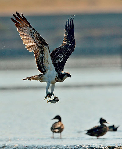 Week in Wildlife: Osprey snatching two fishes on the Hyeongsang river in Pohang, South Korea