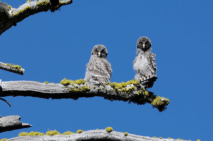 Week in Wildlife: Two juvenile Great Gray Owls