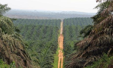 A road cutting through a palm oil plantation in the Ivory Coast
