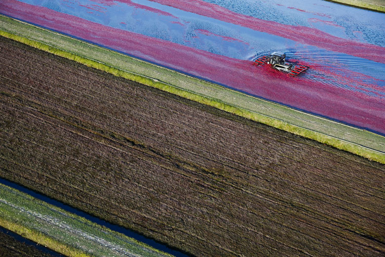Cranberry Harvest In Wisconsin