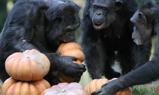 Five a day: Chimpanzees eating pumpkins at Burgers' Zoo, Arnhem, Netherlands.