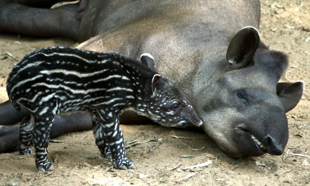 Passiflora, a Brazilian Tapir, and her four-day-old baby are seen at the Ramat Gan Safari, an open-air zoo near Tel Aviv, Israel.