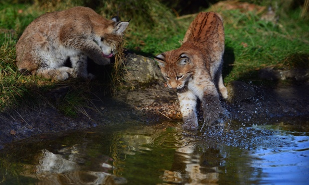 Northern Lynx kittens, explore their enclosure at the Highland Wildlife park in Kingussie, Scotland. The feline twins are believed to be the type of lynx found historically in Scotland.