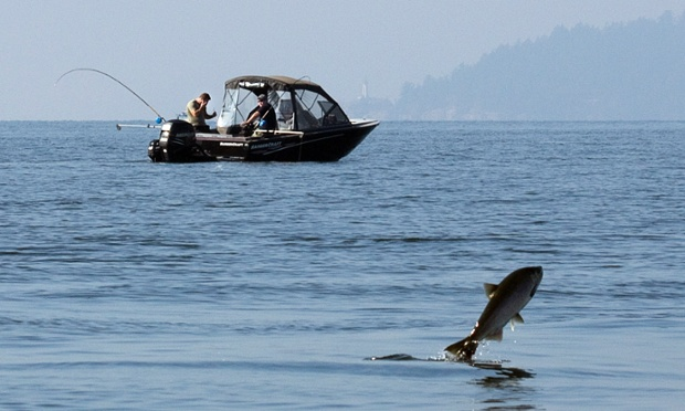Like a fish out of water: A salmon jumps out of the river while feeding as sports fishermen cruise by at the mouth of Capilano River in West Vancouver, Canada. Salmon have been migrating up the river to spawn. Photograph: Andy Clark/Reuters