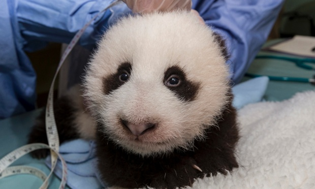 Veterinarians measure the giant panda cub during his weekly exam at the San Diego Zoo, in San Diego, California. The panda measures 11 inches (28 cm) from the base of his head to the tip of his tail. His overall length, from the tip of his nose to the tip of his tail, is approximately 20 inches (53cm). He weighed 7.3 pounds (3.3 kilograms). Photograph: Handout/Reuters