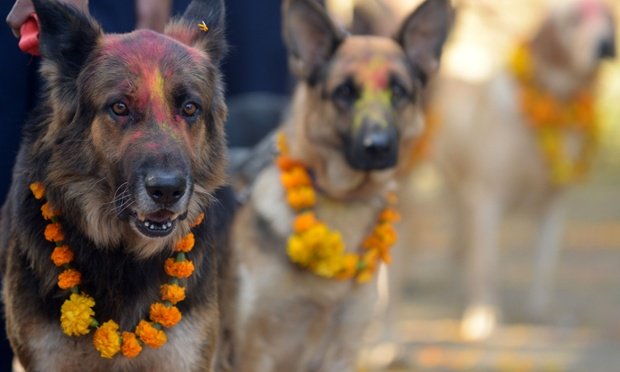 Dressed to impress: Nepalese police dogs are decorated with marigold garlands and coloured powder for Diwali in Kathmandu. It is customary in Nepal for people to offer blessings to dogs which are, according to Hindu tradition, the messengers of Yamaraj, the god of death