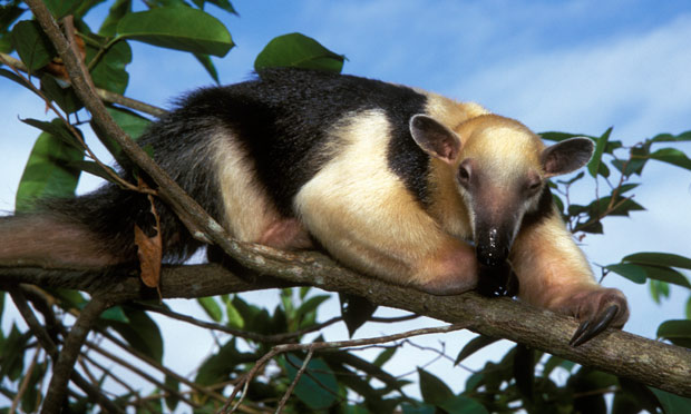 The Beasts From Brazil Country Aims To Clone Endangered Species Environment The Guardian
