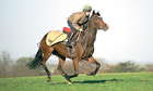 A jokey and thoroughbred race horse galloping fast on an open field in England.