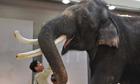 A male Asian elephant