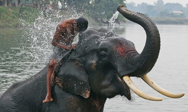More from the big world of elephants: here an elephant sprays water on his mahout, or handler, before offering safari rides to tourists at the Pobitora national park, east of Gauhati, India. After two devastating waves of floods, the park, which has the highest density of the one-horned rhinoceros in the world, reopened for tourists today. Photograph: Anupam Nath/AP