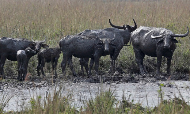 Wild buffalos stand after taking a mud bath at the Pobitora National Park, east of Gauhati, India.