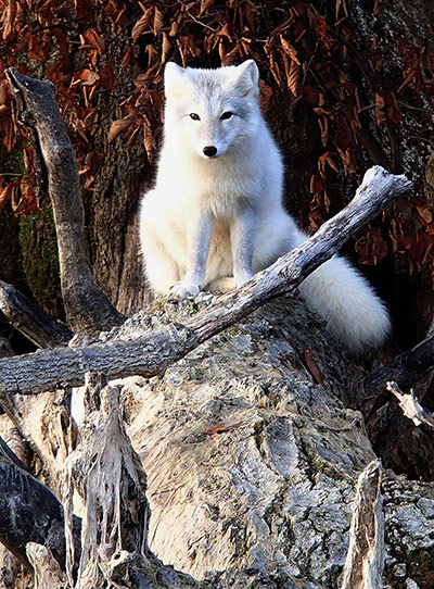 Week in Wildlife: A white fox walks across a log on the shore near Hudson, Illinois