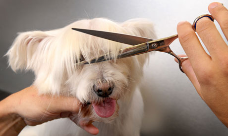 Teddie the West highland Terrier gets a haircut