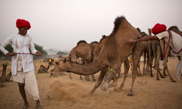Herders struggle with reluctant camel during a camel fair in Pushkar, India.  The annual camel and livestock fair is held over five days and attracts thousands of tourists each year.