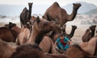 A woman sits among camels as she collects material to make a bonfire at Pushkar Fair.