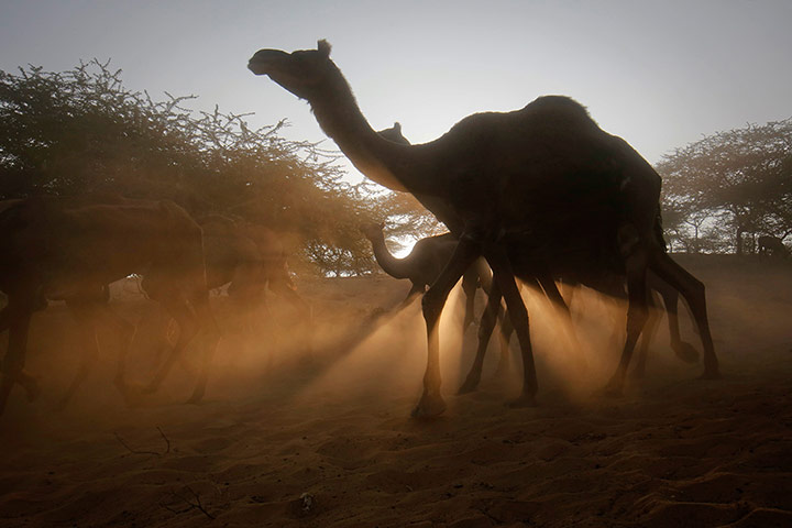 24 hours in pictures: Camels with their herders