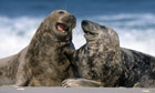 Happy Gray Seals
