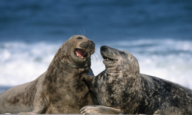 Two grey seals appear to be sharing a joke on the beach in Heligoland, Germany.