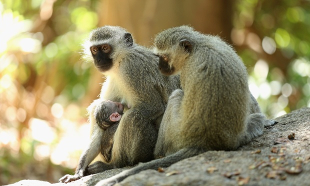 A family of monkeys watch the first round of the Nedbank Golf Challenge at the Gary Player Country Club in Sun City, South Africa.