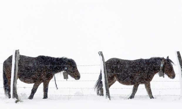 It's freezing in Spain too! Horses plod over snow at La Lomba village in Cantabria. Some 32 provinces are on yellow or orange alert due to snowfalls and heavy winds.