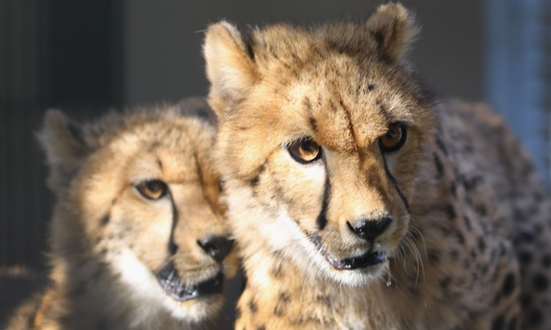 Two wary looking 9 month-old Cheetahs in a quarantine facility at Zoo Miami in Florida.