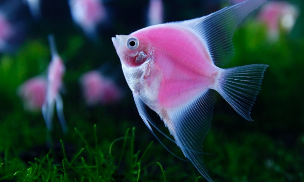 Genetically engineered angelfish glows in a tank during the International Aquarium Expo in Taipei. The fish, which are the world's first pink fluorescent angelfish were created by a joint project between Taiwan's Academia Sinica, National Taiwan Ocean University and Jy Lin, a private biotechnology company.