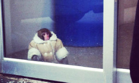 http://static.guim.co.uk/sys-images/Guardian/Pix/pictures/2012/12/10/1355137476555/Ikea-monkey-in-Toronto-st-008.jpg