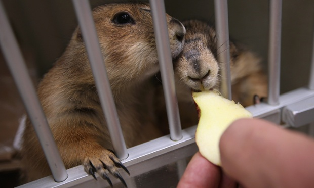 Pet Prarie Dogs Eat While Awaiting Treatment At The Animal