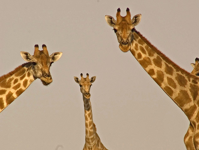 BBC Africa : Three desert giraffes in the Kalahari