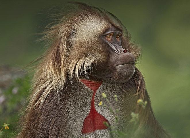 BBC Africa : Bleeding heart baboon