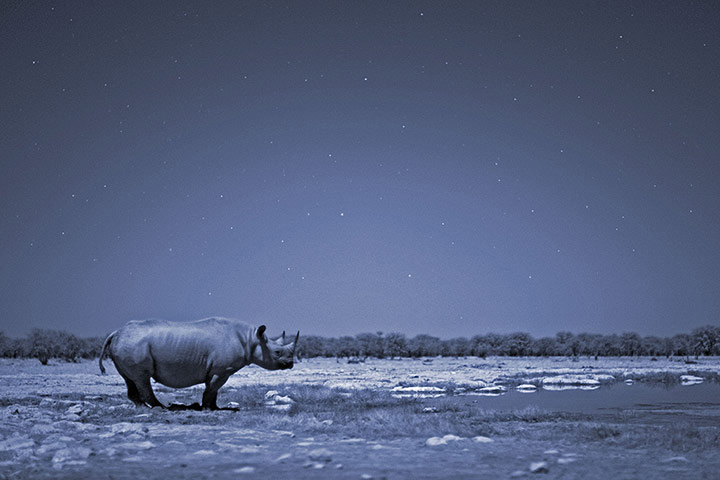 BBC Africa : A black rhino in the Kalahari