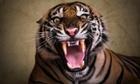 Sumatran tiger Ana roars at Ragunan Zoo, in Jakarta, Indonesia.