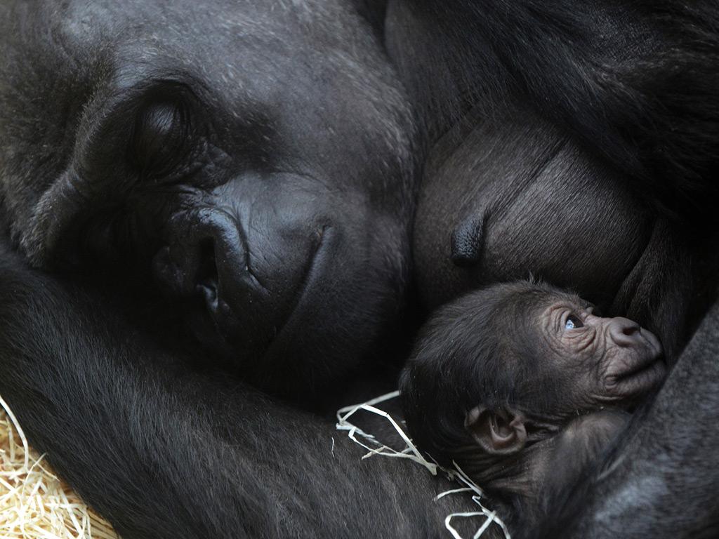 Kijivu, a western lowland gorilla