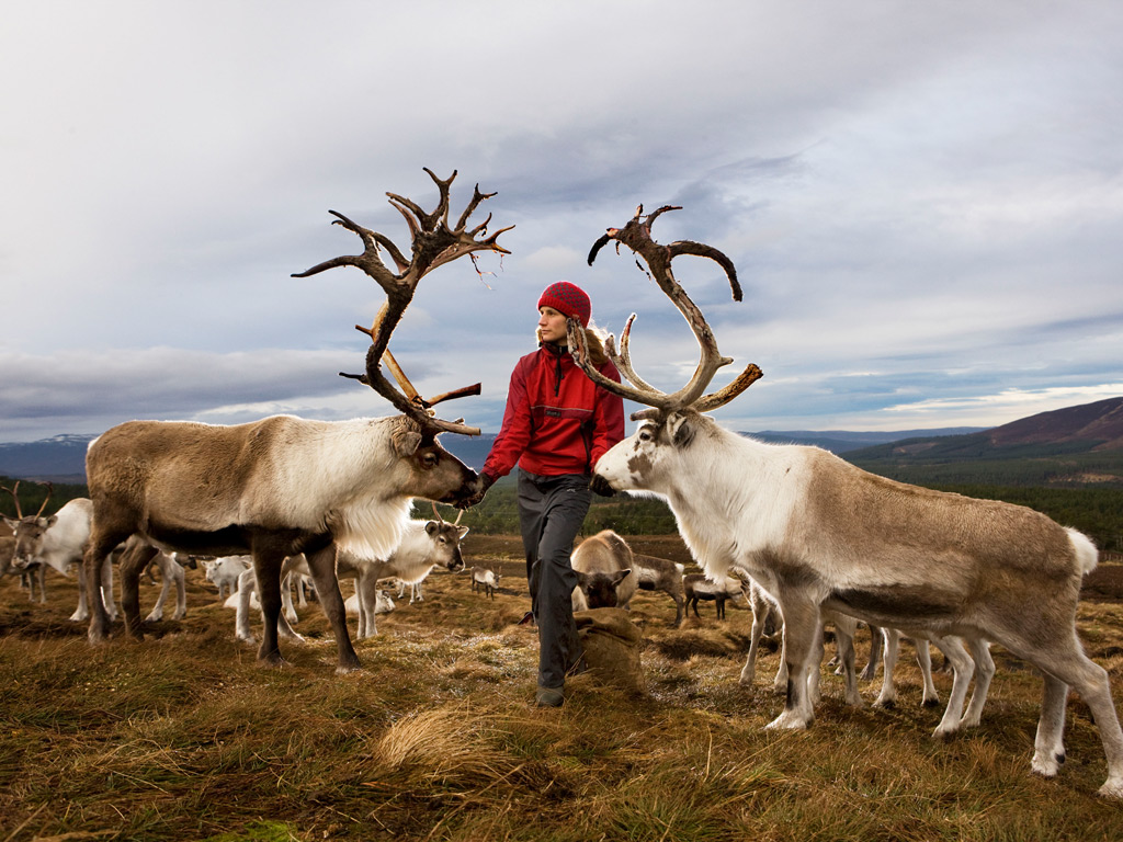 A reindeer herder feeds the Cairngorm reindeers