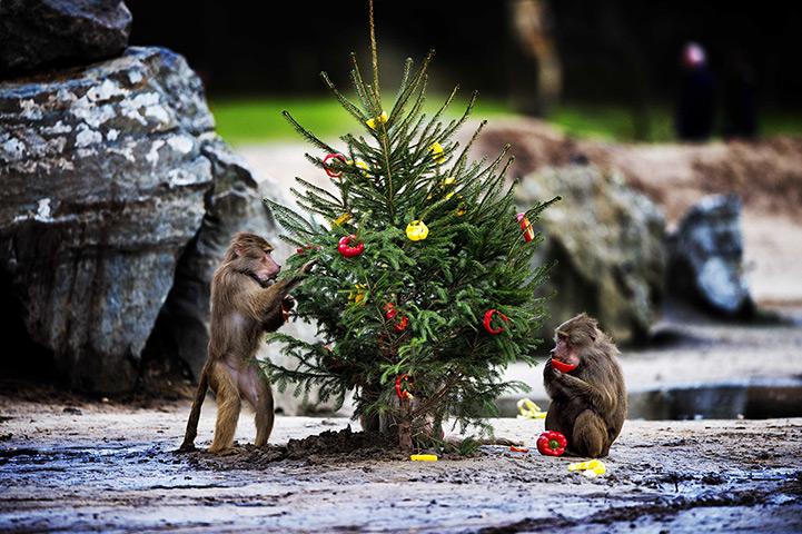 图说24小时:长鬃狒狒狒狒狒狒吃辣椒关闭圣诞树