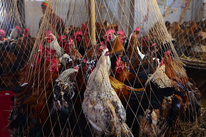 照片:24小时站立在一个笼子里出售活鸡在市场达卡