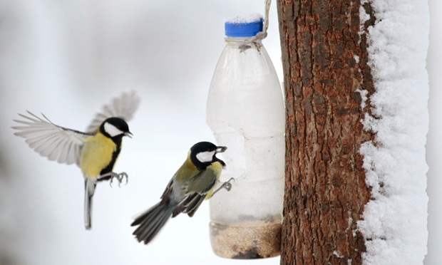 Great Tit birds feed on nuts and seeds left by visitors in a bird feeder in a park in central Minsk, Ukraine.